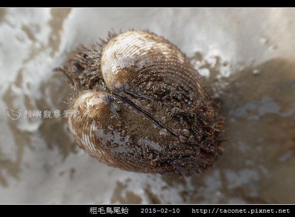 粗毛鳥尾蛤_03.jpg