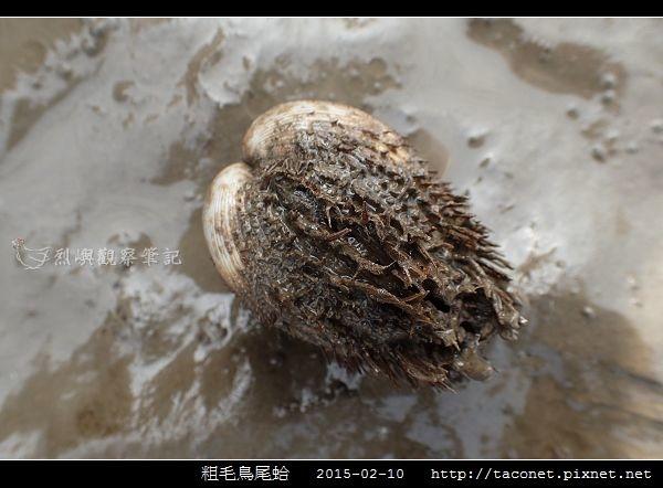 粗毛鳥尾蛤_04.jpg
