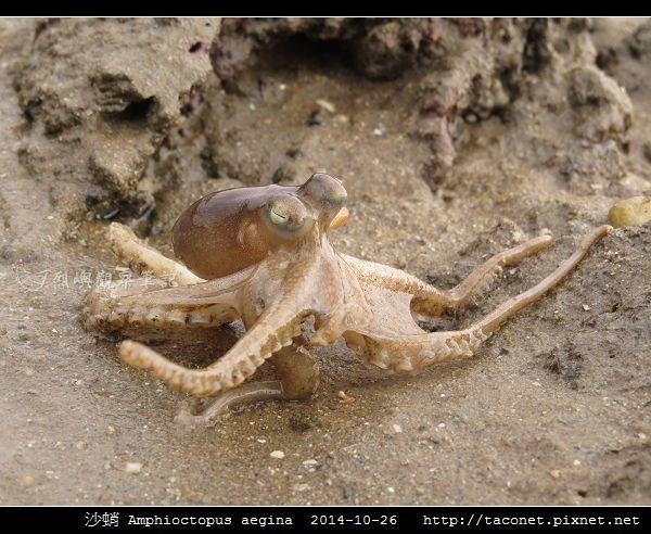 沙蛸 Amphioctopus aegina_05.jpg