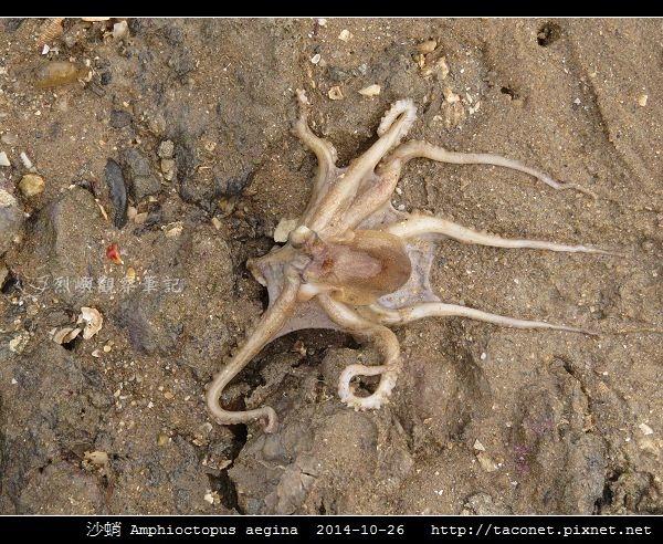 沙蛸 Amphioctopus aegina_07.jpg