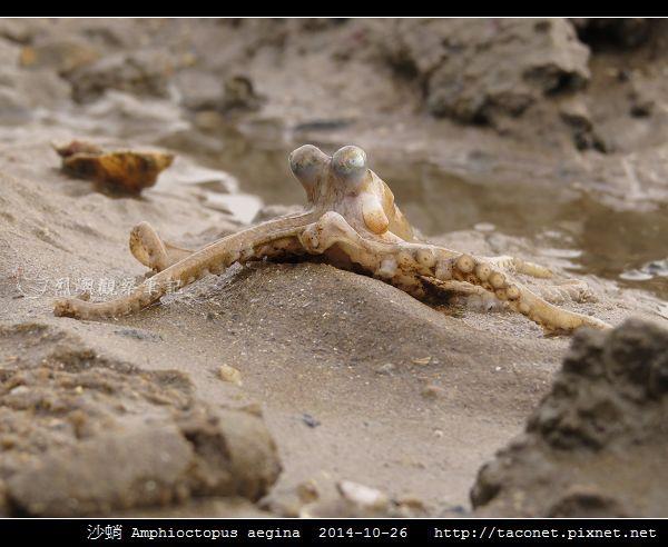 沙蛸 Amphioctopus aegina_06.jpg