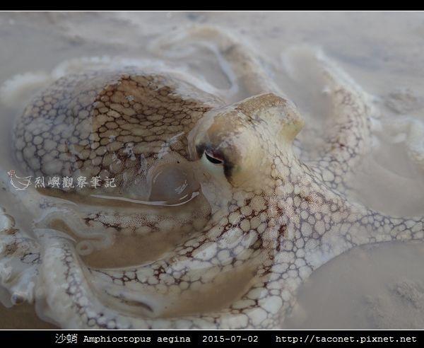 沙蛸 Amphioctopus aegina_08.jpg