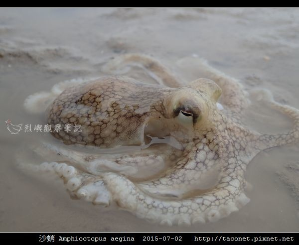 沙蛸 Amphioctopus aegina_09.jpg