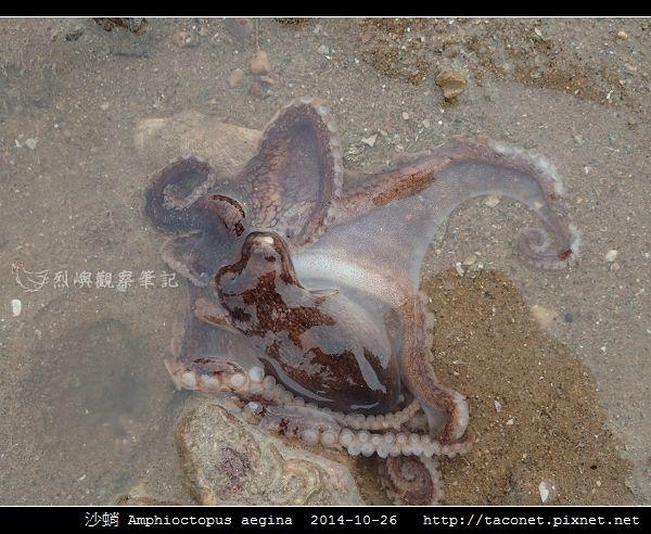 沙蛸 Amphioctopus aegina_12.jpg