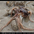 沙蛸 Amphioctopus aegina_14.jpg