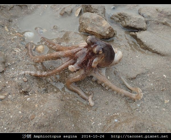 沙蛸 Amphioctopus aegina_15.jpg