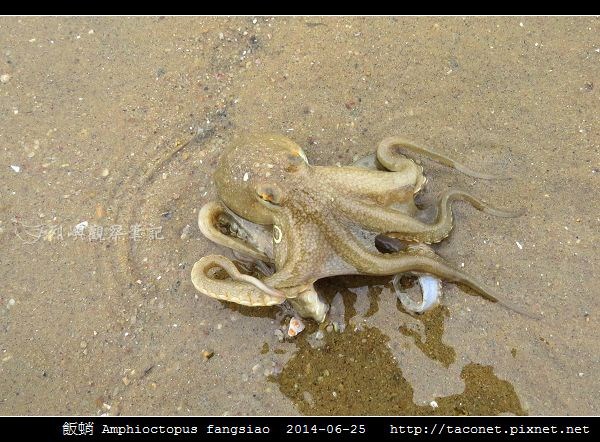 飯蛸 Amphioctopus fangsiao_01.jpg