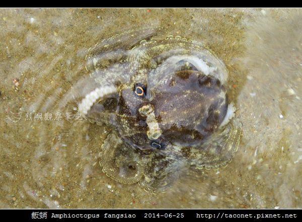 飯蛸 Amphioctopus fangsiao_02.jpg