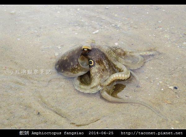 飯蛸 Amphioctopus fangsiao_04.jpg