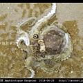 飯蛸 Amphioctopus fangsiao_03.jpg