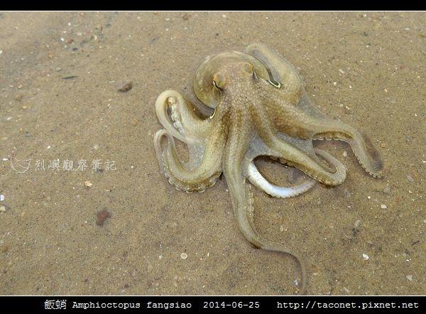 飯蛸 Amphioctopus fangsiao_06.jpg