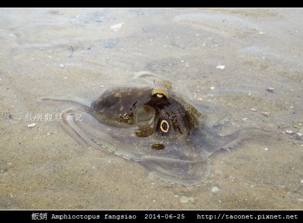 飯蛸 Amphioctopus fangsiao_05.jpg
