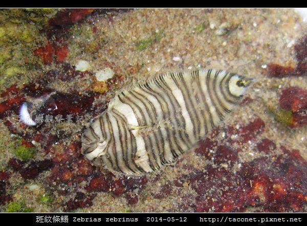 斑紋條鰨 Zebrias zebrinus_03.jpg