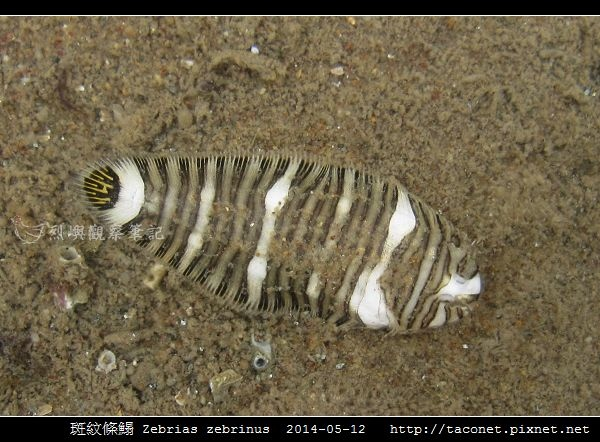 斑紋條鰨 Zebrias zebrinus_06.jpg