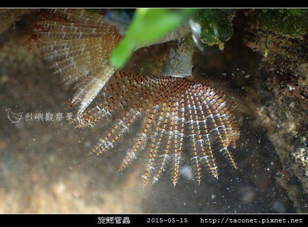 旋鰓管蟲 Sabellastarte spectabilis_02.jpg