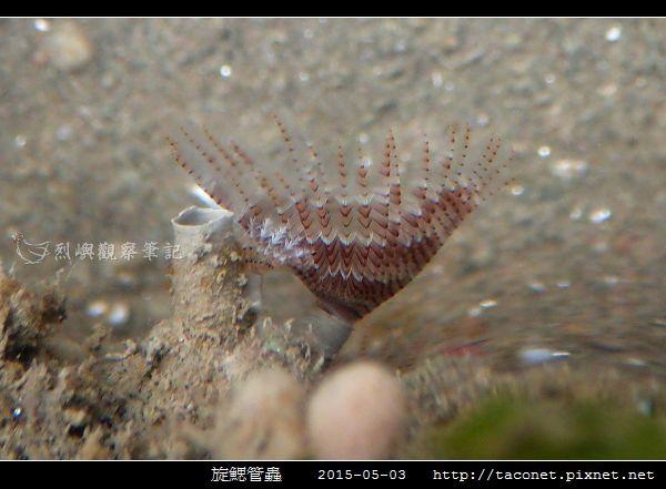 旋鰓管蟲 Sabellastarte spectabilis_01.jpg