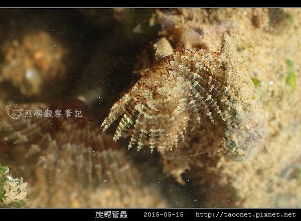旋鰓管蟲 Sabellastarte spectabilis_03.jpg