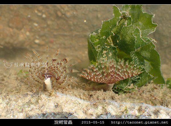 旋鰓管蟲 Sabellastarte spectabilis_05.jpg
