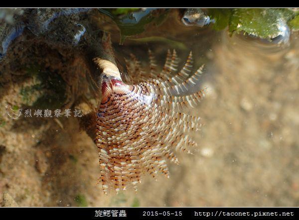 旋鰓管蟲 Sabellastarte spectabilis_04.jpg