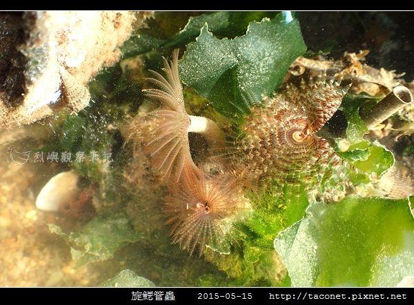 旋鰓管蟲 Sabellastarte spectabilis_06.jpg