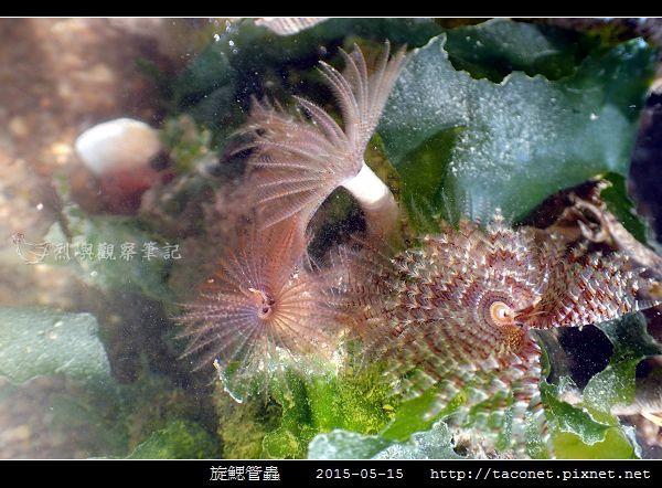 旋鰓管蟲 Sabellastarte spectabilis_07.jpg