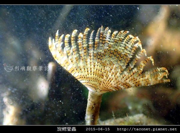 旋鰓管蟲 Sabellastarte spectabilis_09.jpg