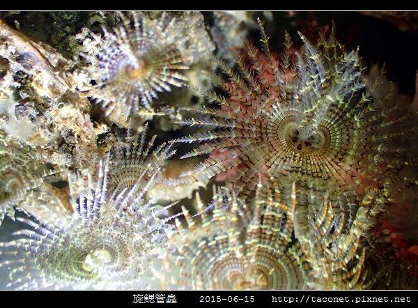 旋鰓管蟲 Sabellastarte spectabilis_10.jpg