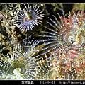 旋鰓管蟲 Sabellastarte spectabilis_11.jpg