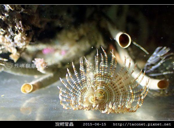 旋鰓管蟲 Sabellastarte spectabilis_12.jpg
