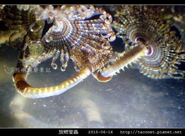 旋鰓管蟲 Sabellastarte spectabilis_13.jpg