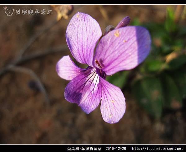 堇菜科-菲律賓堇菜_09.jpg