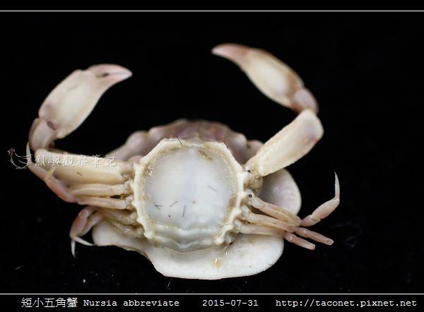短小五角蟹 Nursia abbreviate_06.jpg