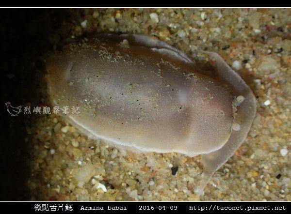 微點舌片鰓  Armina babai_02.jpg
