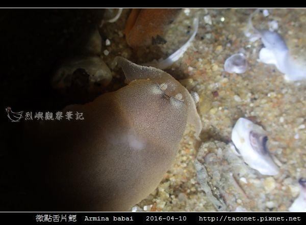 微點舌片鰓  Armina babai_03.jpg