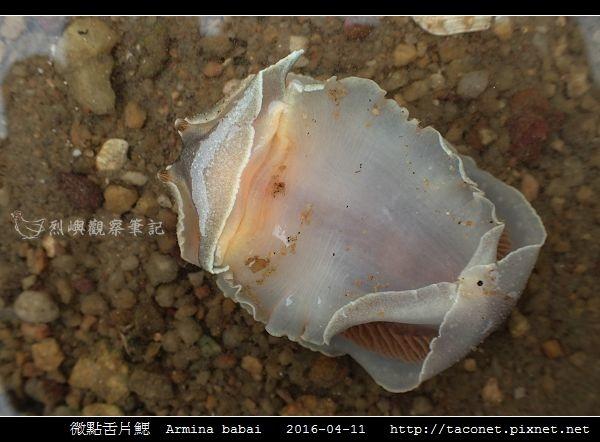 微點舌片鰓  Armina babai_06.jpg