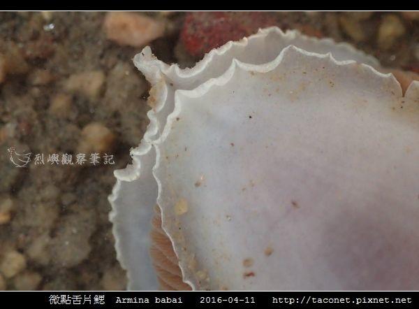 微點舌片鰓  Armina babai_10.jpg