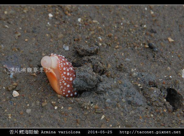 舌片鰓海蛞蝓 Armina variolosa_01.jpg