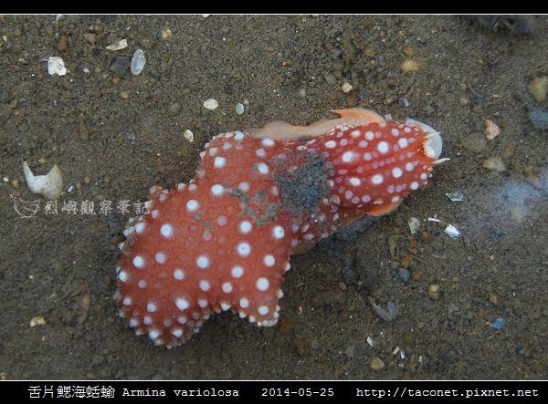 舌片鰓海蛞蝓 Armina variolosa_02.jpg