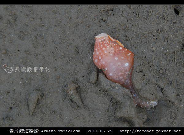舌片鰓海蛞蝓 Armina variolosa_03.jpg