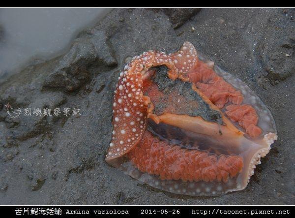 舌片鰓海蛞蝓 Armina variolosa_04.jpg
