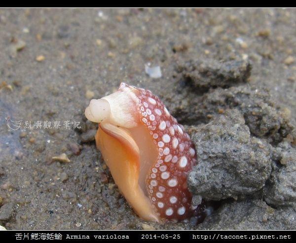 舌片鰓海蛞蝓 Armina variolosa_07.jpg