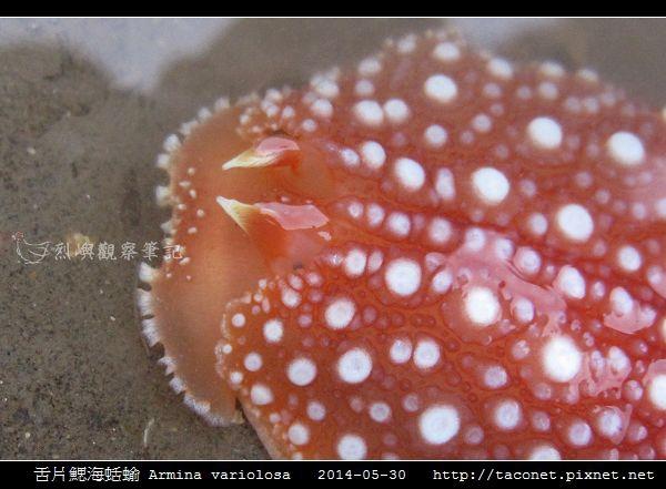 舌片鰓海蛞蝓 Armina variolosa_09.jpg