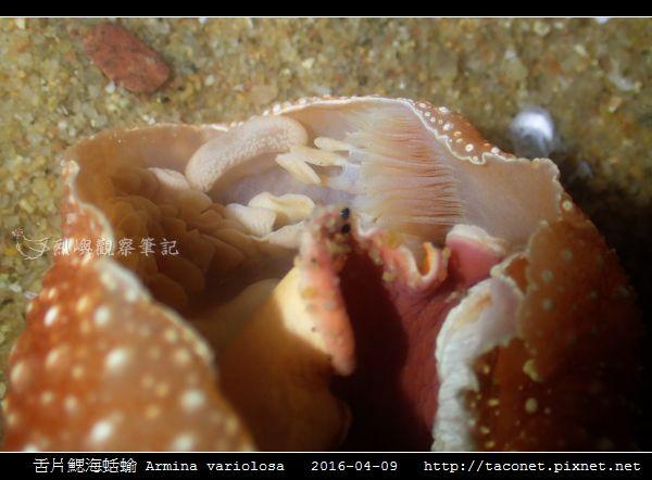 舌片鰓海蛞蝓 Armina variolosa_12.jpg