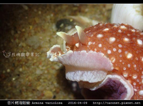 舌片鰓海蛞蝓 Armina variolosa_14.jpg