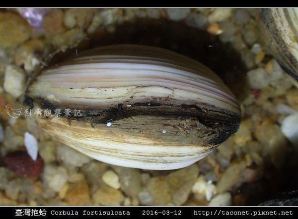 臺灣抱蛤 Corbula fortisulcata_03.jpg