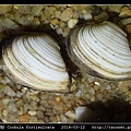 臺灣抱蛤 Corbula fortisulcata_05.jpg