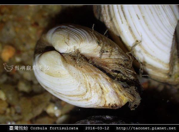 臺灣抱蛤 Corbula fortisulcata_04.jpg