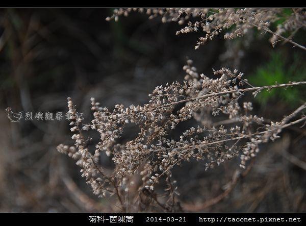 菊科-茵陳蒿_03.jpg