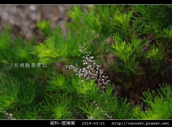菊科-茵陳蒿_05.jpg