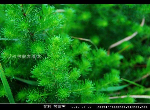 菊科-茵陳蒿_09.jpg